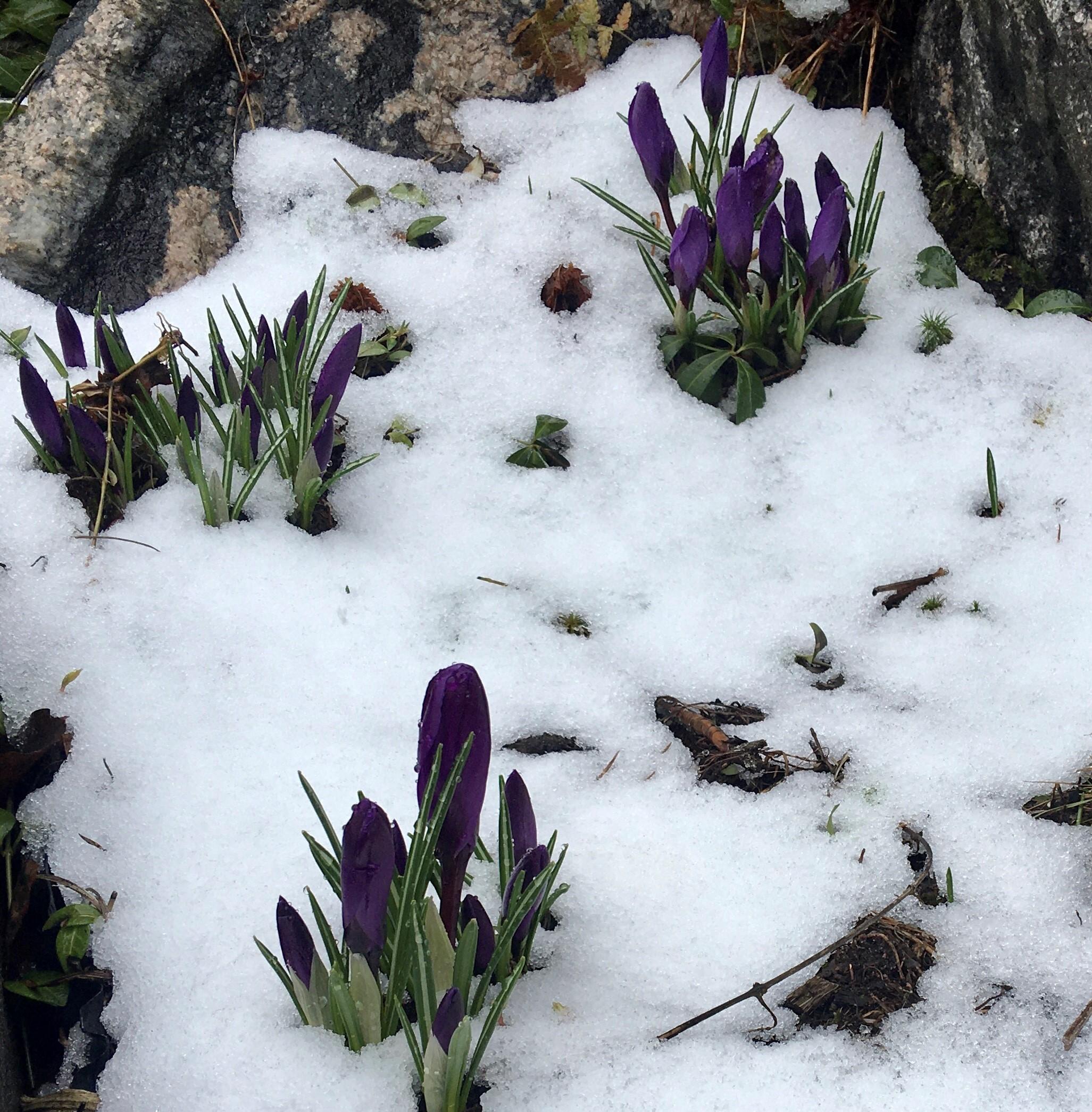 Krokusar i snön